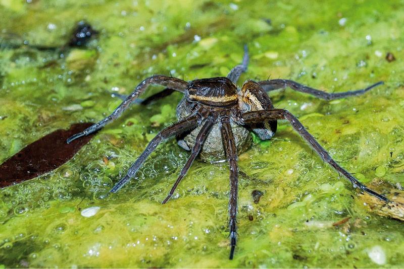 L'aranya trobada al Parc de les Deveses de Salt i que es creia absent a tota la P. Ibèrica